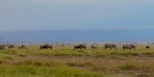 Amboselische zebras in een Keniaans voorbeeld van natuurbehoud