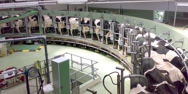 Melkkoeien aan de melkmachine. Foto van Gunnar Richter.