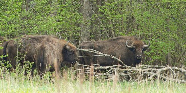 Wisenten in Białowieża National Park. Foto van Frank Vassen.