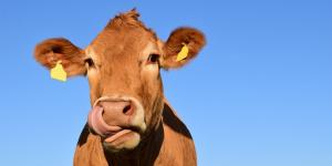 Vegetarische Slager koe